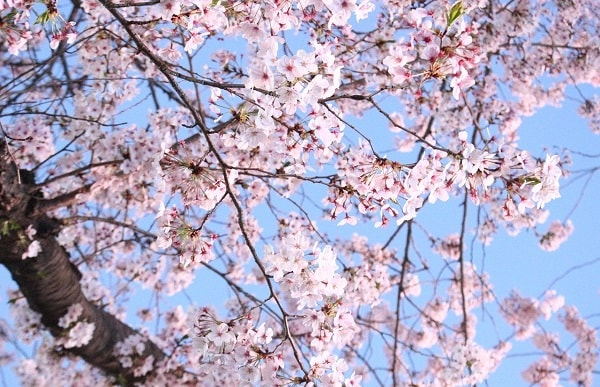 Korea Cherry Blossom Season Guide 2020 Best Places To Visit In Korea